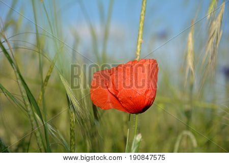 One clap poppy  (  Papaver rhoeas  )  on the meadow
