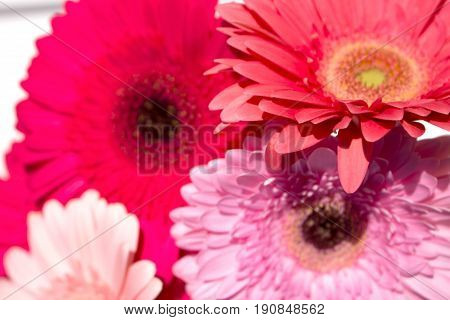 Four gerbers. Daisy flowers isolated over white background.