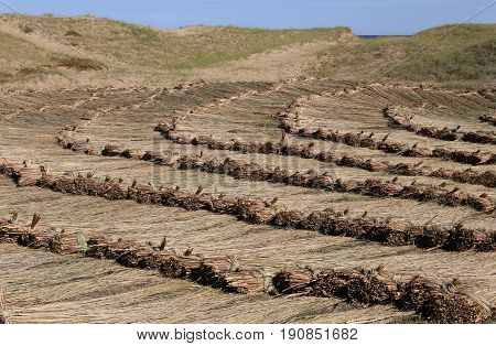 Bundles of harvested reed are drying on a meadow. Thatched roof are made with this reed.