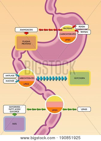 vector medical illustration of the digestive process