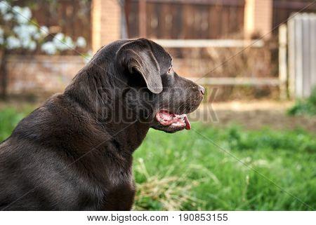 Dog labrador, brown labrador, dog on the street.