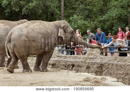 LES MATHES, FRANCE - JULY 4, 2016: Visitors feeding Asian elephants (Elephas maximus) at La Palmyre Zoo (Zoo de La Palmyre) in Les Mathes, Charente-Maritime, France.