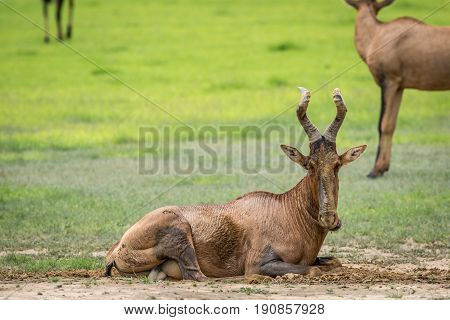 Red Hartebeest Taking A Mud Bath.