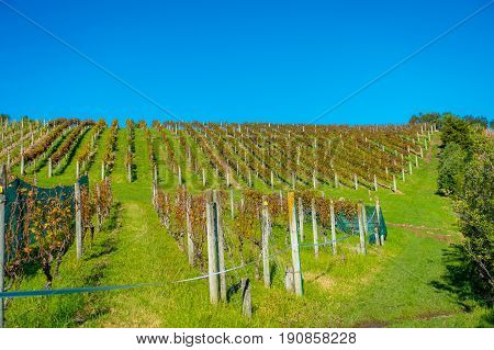 Vineyard vertical panoramic view on Waiheke Island, Auckland, New Zealand in a beautiful blue sky.