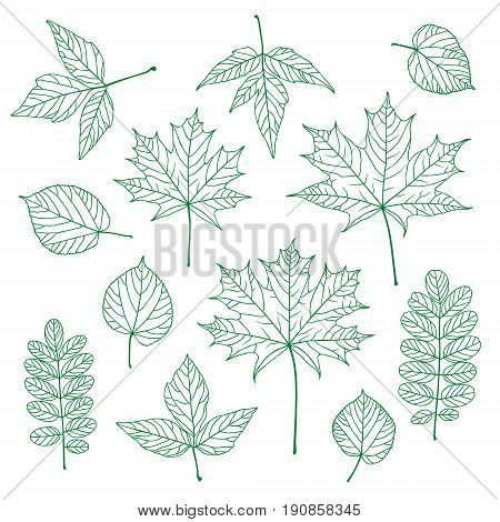 Set of outline vector leaves. Maple linden acacia acer