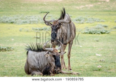 Two Blue Wildebeests In The Grass.