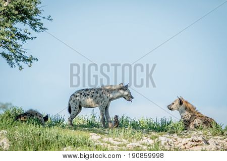 Three Spotted Hyenas On A Ridge.