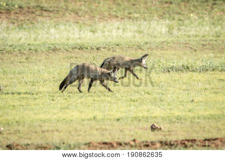 Bat-eared Foxes Walking In The Grass.