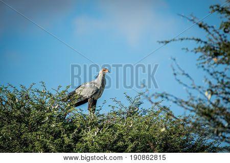 Secretary Bird In A Tree In The Kalagadi.