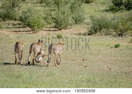 Three Cheetahs On A Springbok Kill.