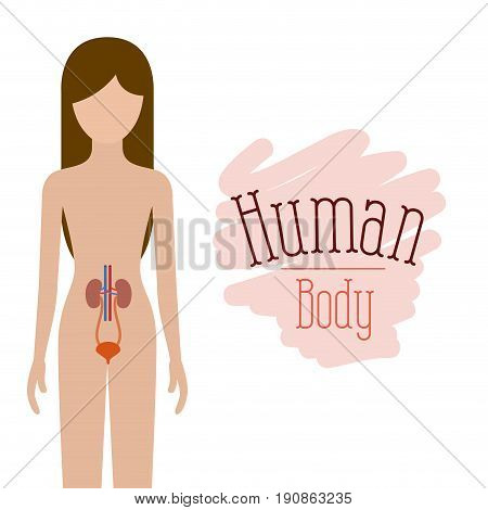 colorful silhouette female person with renal system human body vector illustration