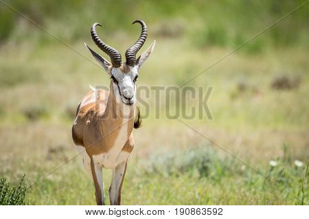 Springbok Starring At The Camera.