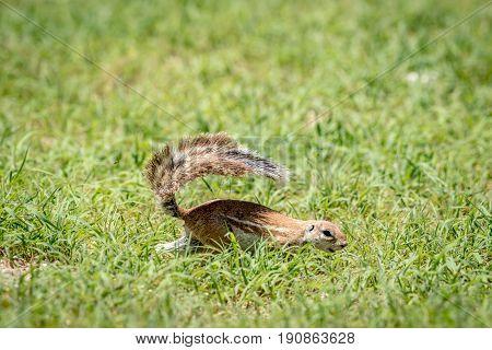 Ground Squirrel Running In The Grass.
