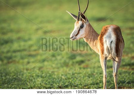 Side Profile Of A Springbok In Etosha.
