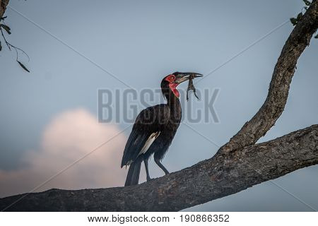 A Southern Ground Hornbill With A Kill.