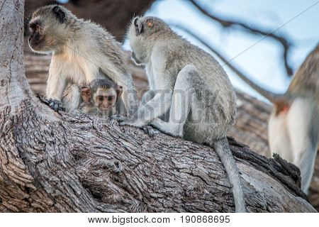 Several Vervet Monkeys Resting On A Tree.
