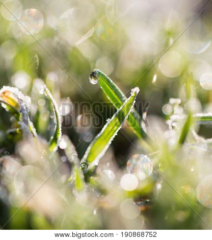 beautiful grass with dew drops . A photo