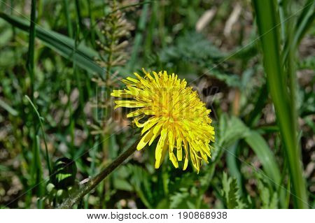 The yellow dandelion in the clearing is like a small sun, attracts the eye and complements the colors of spring.