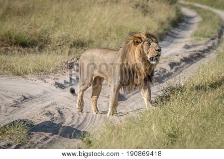 A Male Lion Walking On The Road.