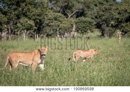 A Lion With Impalas On The Background.