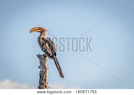 A Southern Yellow-billed Hornbill Resting.