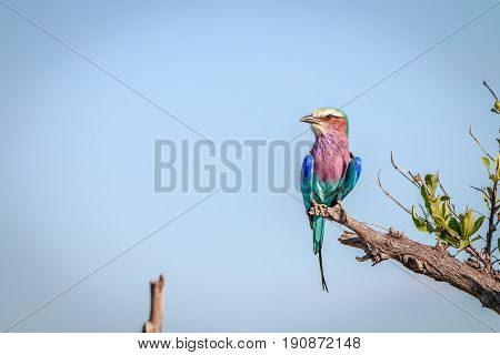 A Lilac-breasted Roller Resting On A Branch.