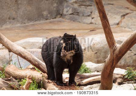 Andean Bear Tremarctos Ornatus