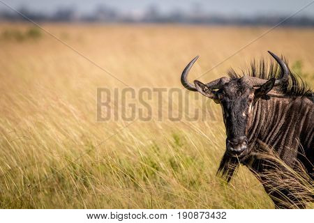 A Blue Wildebeest Standing In The High Grass.