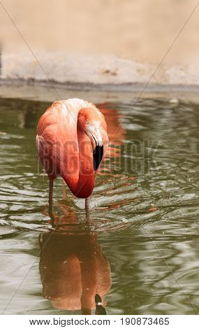Pink Caribbean flamingo Phoenicopterus ruber in the middle of a flock laying eggs during breeding season.