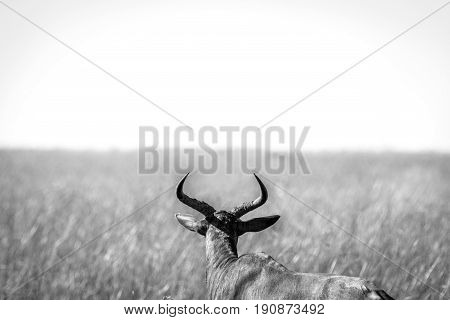 A Red Hartebeest In Black And White.