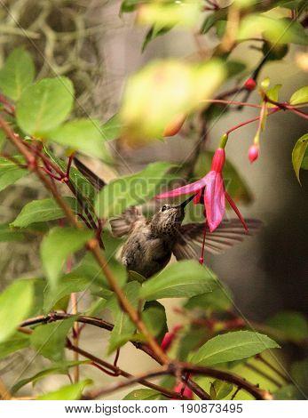 Annas Hummingbird, Calypte Anna
