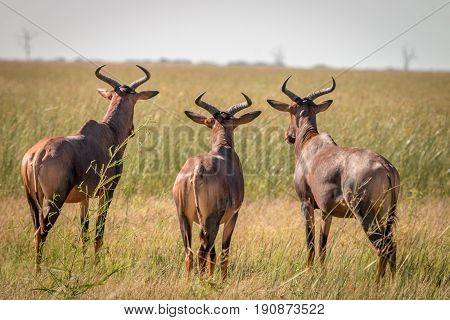 Three Red Hartebeest Looking Around.