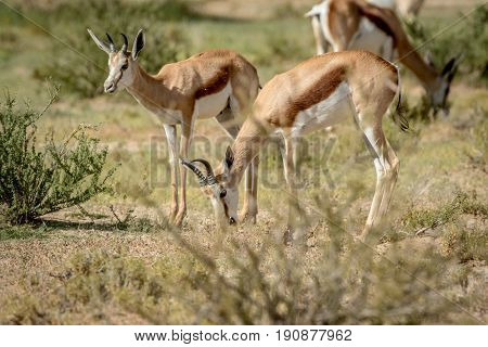 Herd Of Springbok Standing In The Grass.