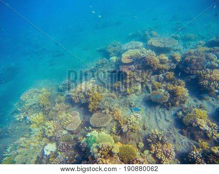 Underwater landscape with coral reef. Young coral formation with seaweed. Turquoise sea and tropical seabottom photo. Sea animals and plants. Exotic seashore. Marine inhabitants. Sea water environment