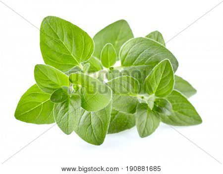 Fresh oregano in closeup