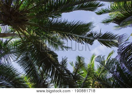 Palm tree leaves on sunny blue sky background. Tropical tree crown on blue sky. Palm crowns on blue sky. Palm leaf backdrop. Tropical vacation banner template with text place. Tropical paradise print