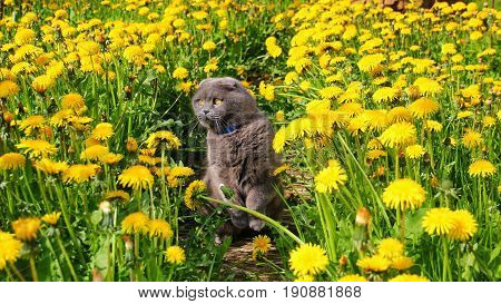 gray Scottish fold cat with blue flea collar sits among a large number of yellow dandelions