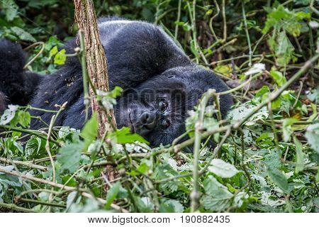 Silverback Mountain Gorilla Laying Down.