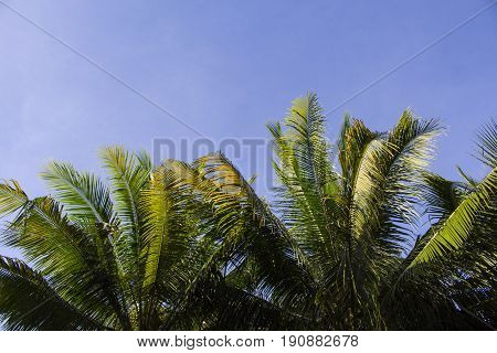 Palm tree crown with green leaves on blue sky background. Palm crowns on blue sky. Palm leaf frame. Tropical vacation banner template with text place. Tropical paradise background. Fluffy leaf border
