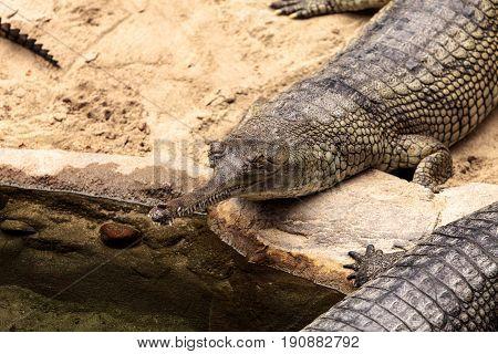 Gharial Known As Gavialis Gangeticus