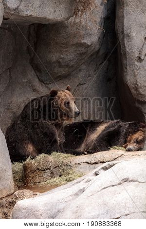 North American Grizzly Bear Ursus Arctos Horribilis