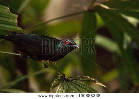 Metallic Starling Is A Shiny Bird With Red Eyes Known As Aplonis Metallica