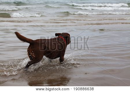 Dog running on the water in the sea close-up.