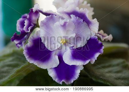 Beautiful blooming flower of violet Rhapsody Cora Holtkamp