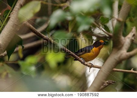 Male Yellow And Blue Violaceous Euphonia Also Called Euphonia Violacea