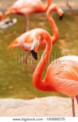 Pink Caribbean Flamingo, Phoenicopterus Ruber