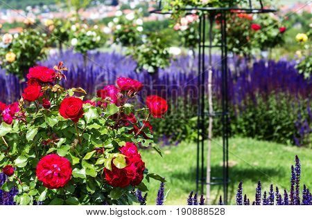 Red roses bush and blue flowering ornamental salvia nemorosa in rose garden English style