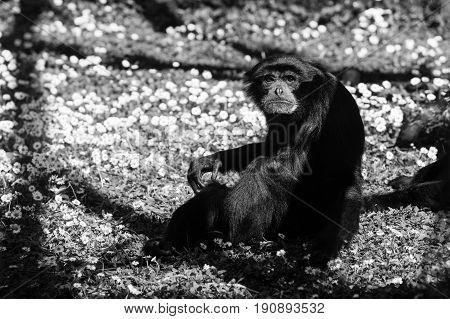chimpanzees ape - black and white animals portraits