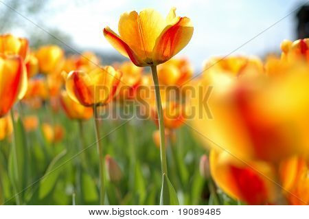 Yellow-red Tulip Flowers.