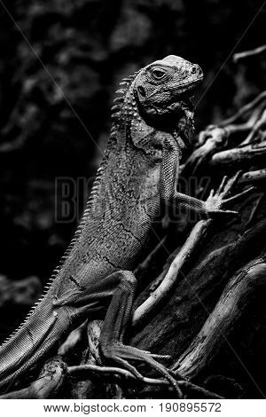 iguana - green iguana - black and white animals portraits